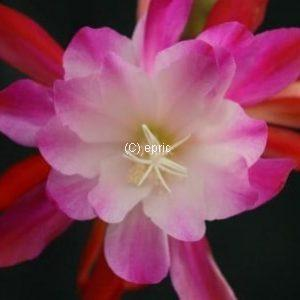 Yes she can (Epiphyllum)